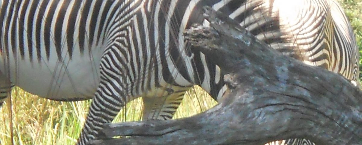 You know this is a zebra, right?